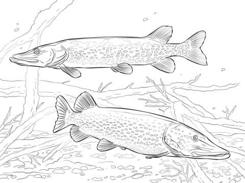 Northern Pike coloring #16, Download drawings