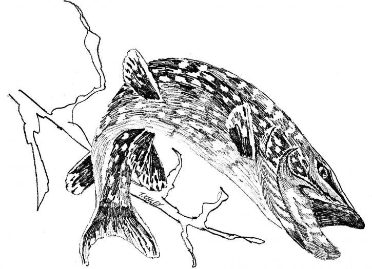 Northern Pike coloring #14, Download drawings