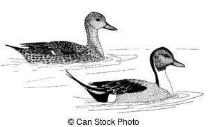Northern Pintail clipart #20, Download drawings