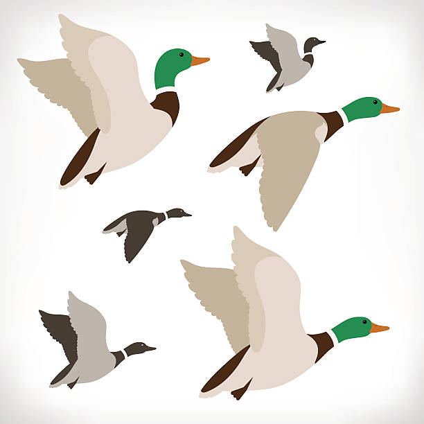 Northern Pintail clipart #4, Download drawings