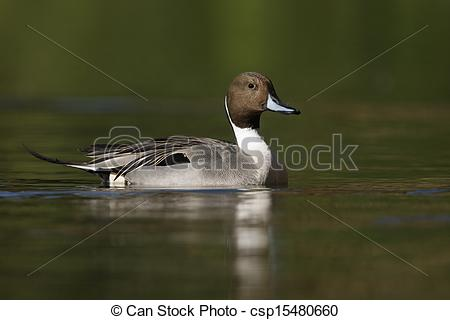 Northern Pintail clipart #10, Download drawings