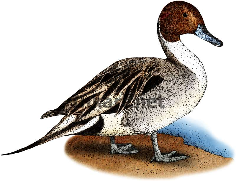 Northern Pintail clipart #1, Download drawings