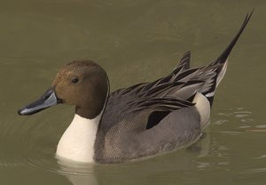 Northern Pintail clipart #8, Download drawings