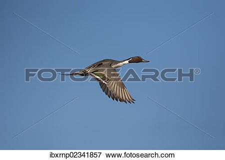 Northern Pintail clipart #11, Download drawings