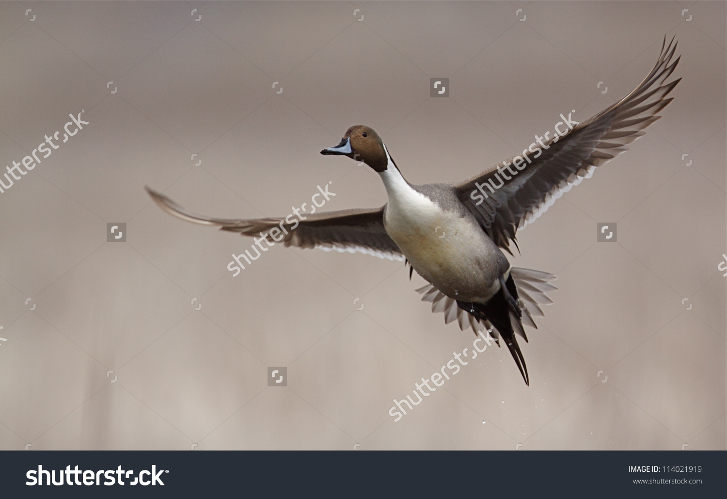 Northern Pintail clipart #3, Download drawings
