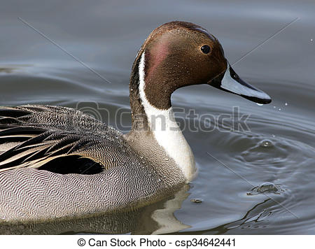 Northern Pintail clipart #6, Download drawings