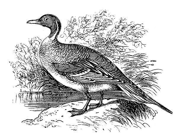 Northern Pintail clipart #7, Download drawings