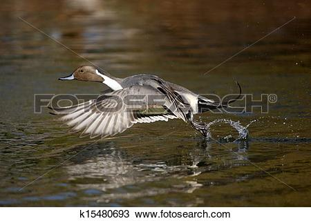 Northern Pintail clipart #13, Download drawings