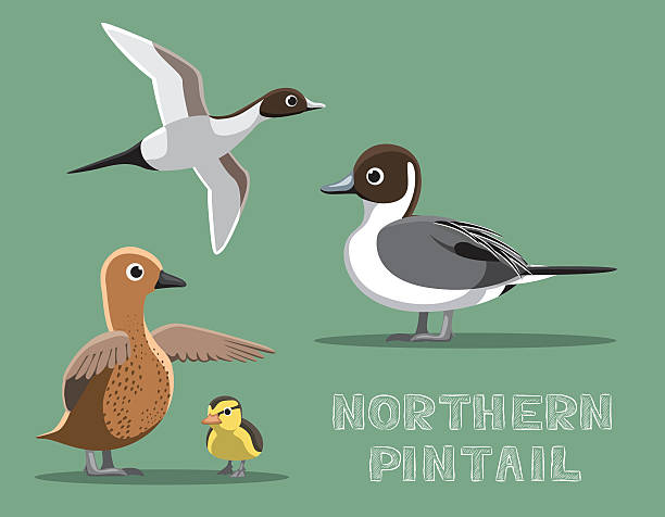 Northern Pintail clipart #2, Download drawings