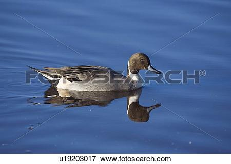 Northern Pintail clipart #12, Download drawings