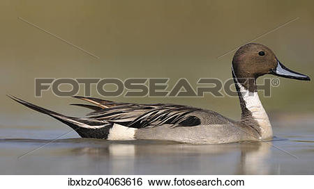 Northern Pintail clipart #16, Download drawings