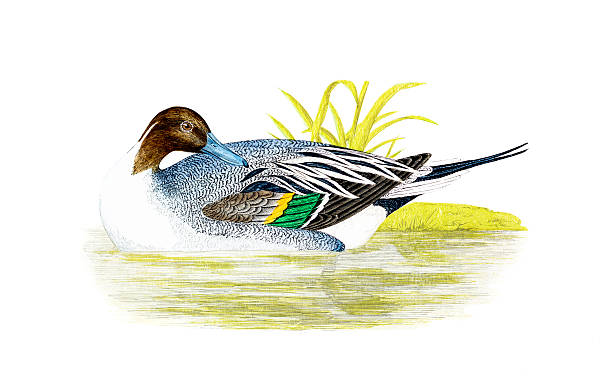 Northern Pintail clipart #17, Download drawings