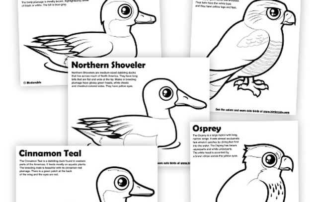 Northern Pintail coloring #5, Download drawings