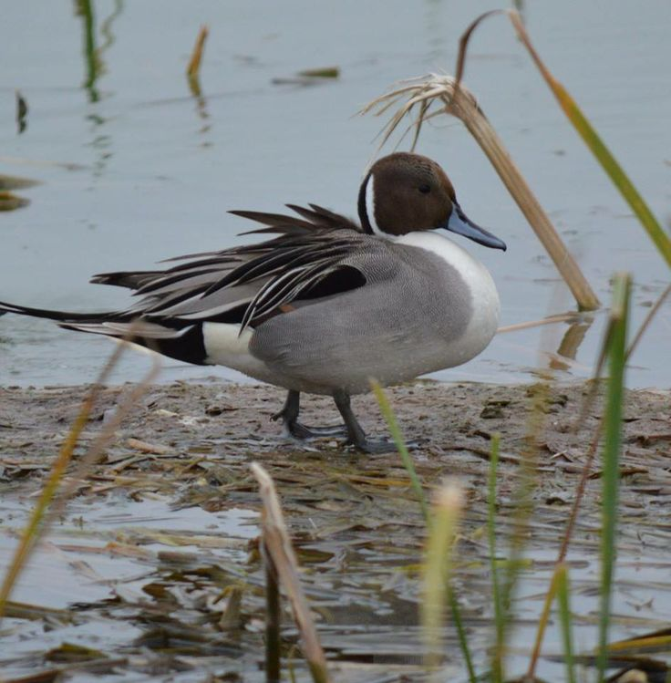 Northern Pintail coloring #8, Download drawings