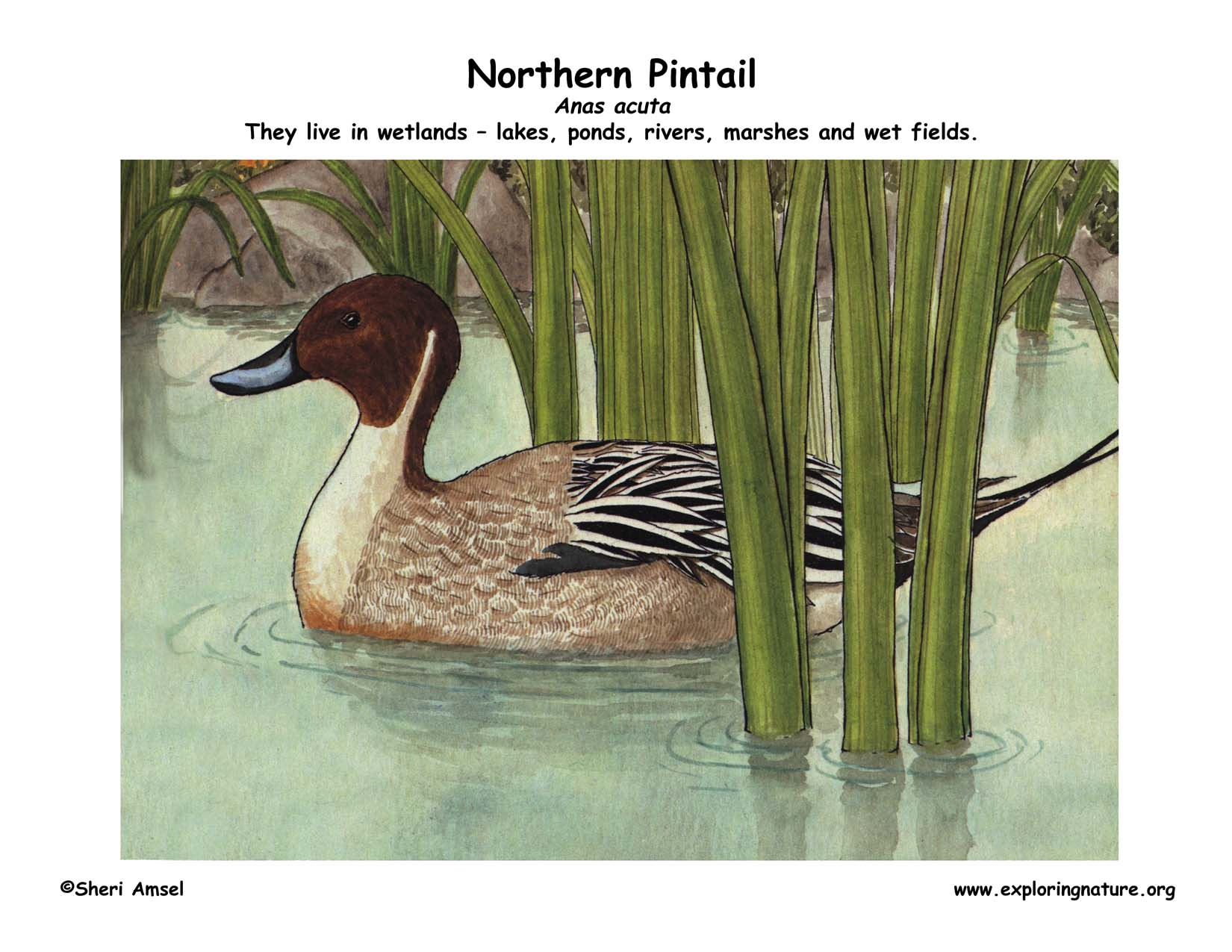 Northern Pintail coloring #9, Download drawings