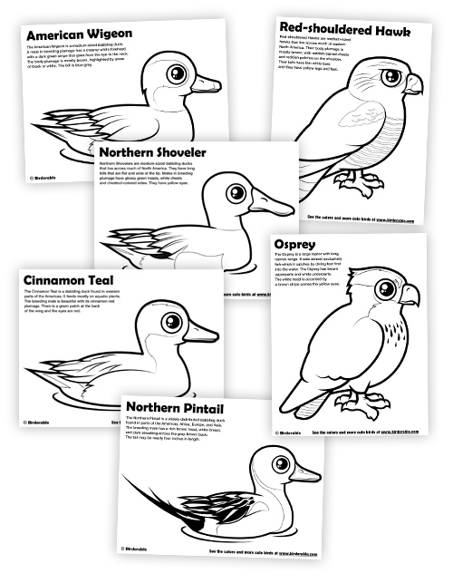 Northern Pintail coloring #13, Download drawings