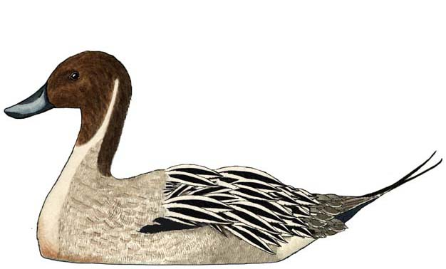 Northern Pintail coloring #11, Download drawings