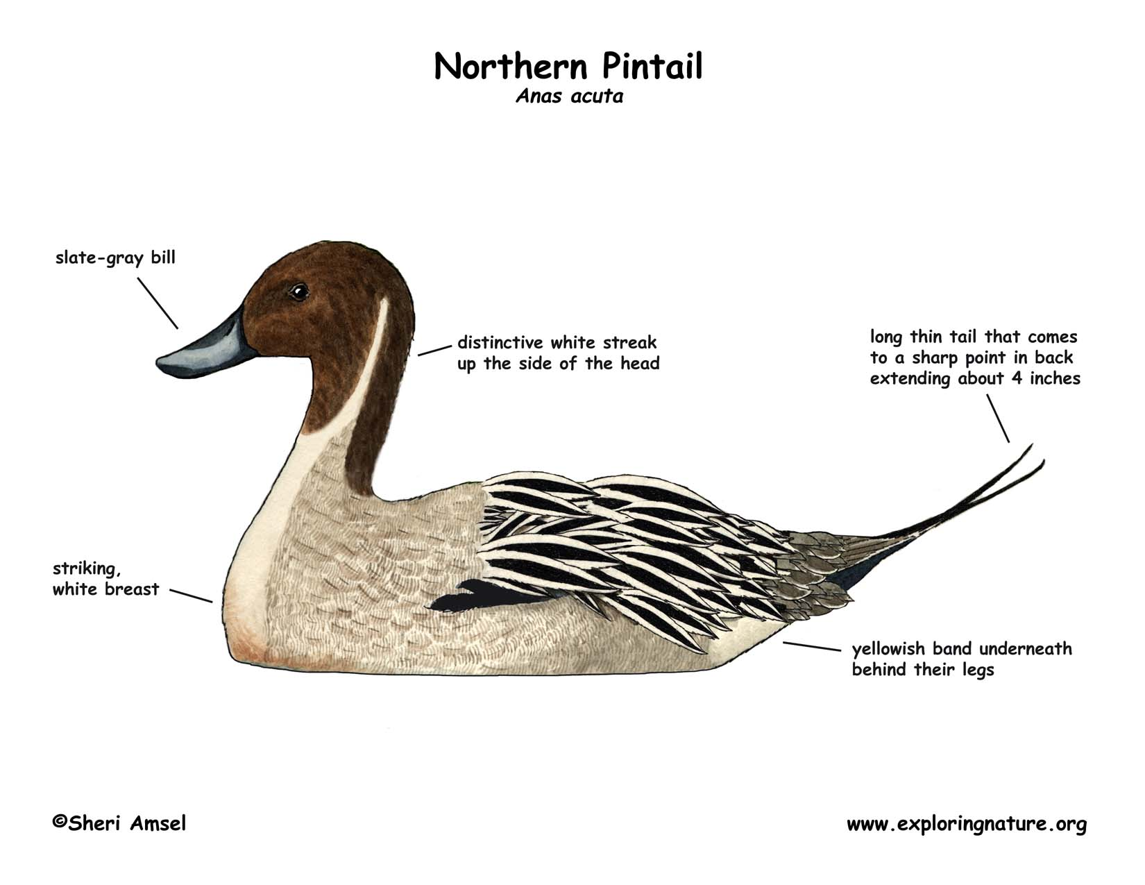 Northern Pintail coloring #18, Download drawings