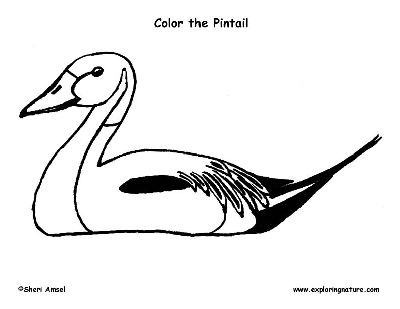 Northern Pintail coloring #19, Download drawings