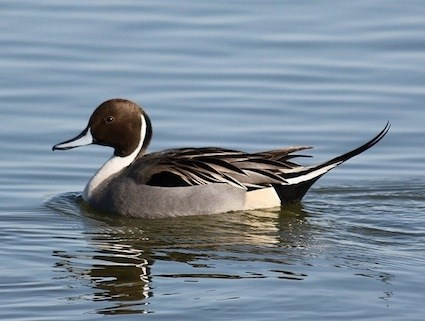 Northern Pintail coloring #3, Download drawings