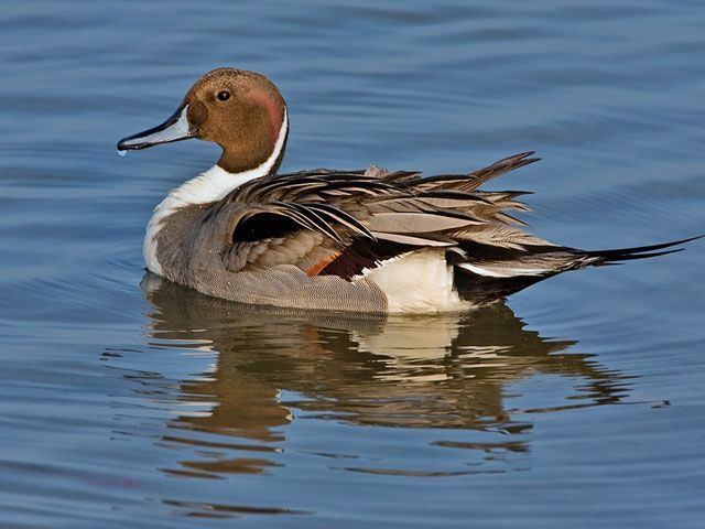 Northern Pintail coloring #14, Download drawings