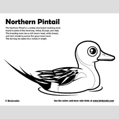 Northern Pintail coloring #20, Download drawings