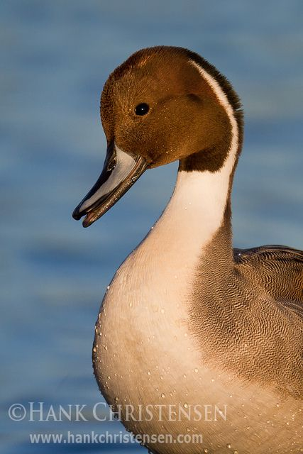 Northern Pintail coloring #10, Download drawings