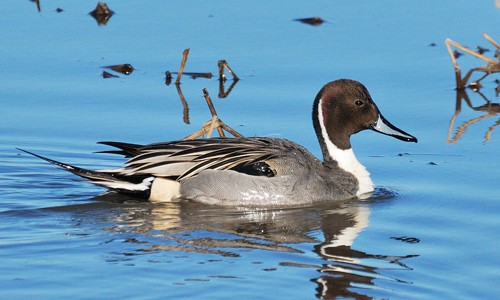 Northern Pintail coloring #12, Download drawings