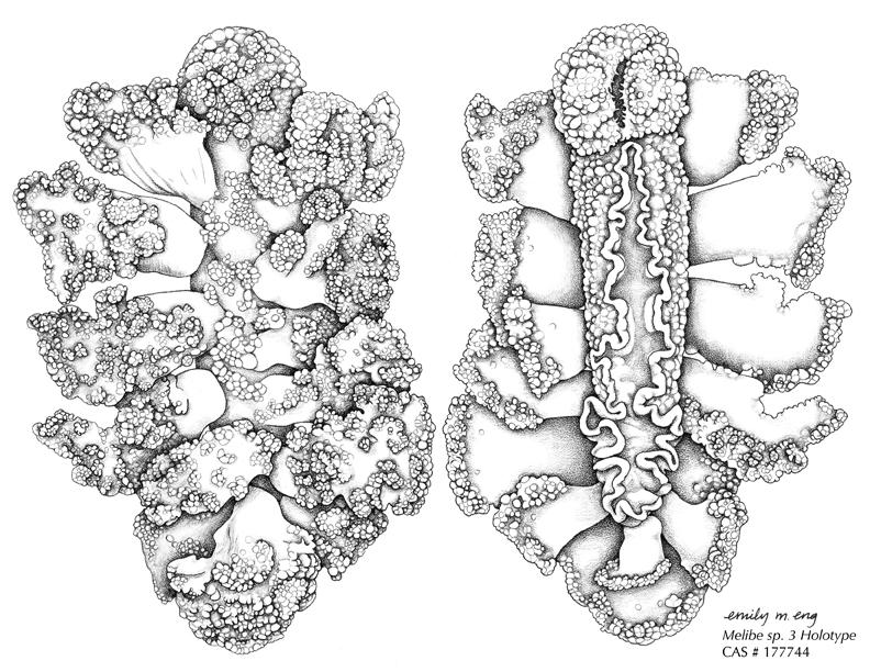 Nudibranch coloring #18, Download drawings