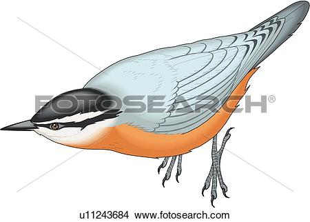 Red-breasted Nuthatch clipart #16, Download drawings