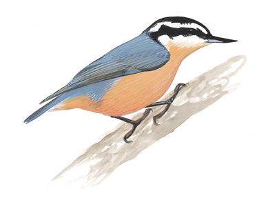 Red-breasted Nuthatch clipart #20, Download drawings