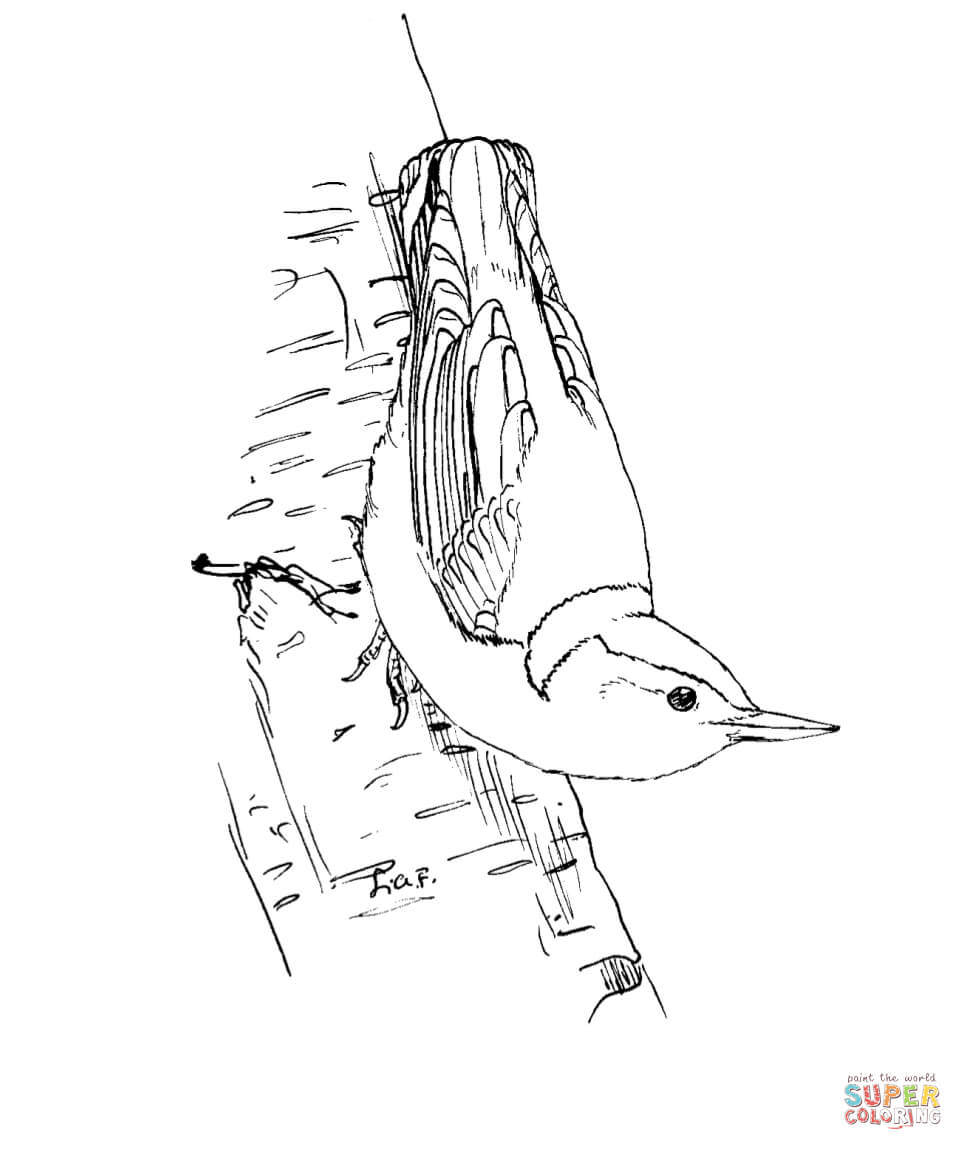 Nuthatch coloring #16, Download drawings