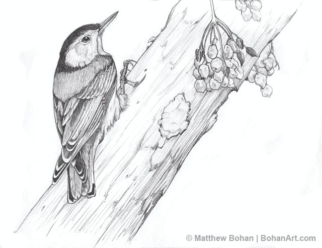 Nuthatch coloring #10, Download drawings
