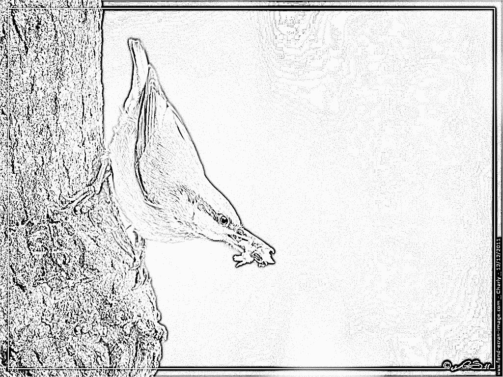Nuthatch coloring #6, Download drawings
