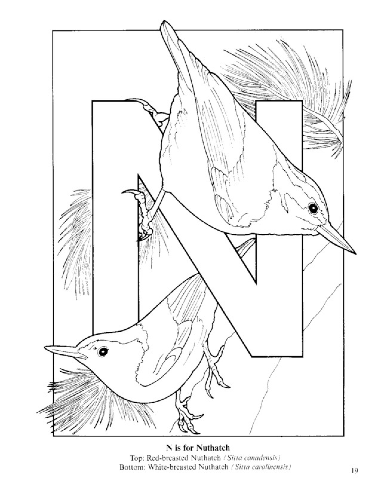 Nuthatch coloring #13, Download drawings