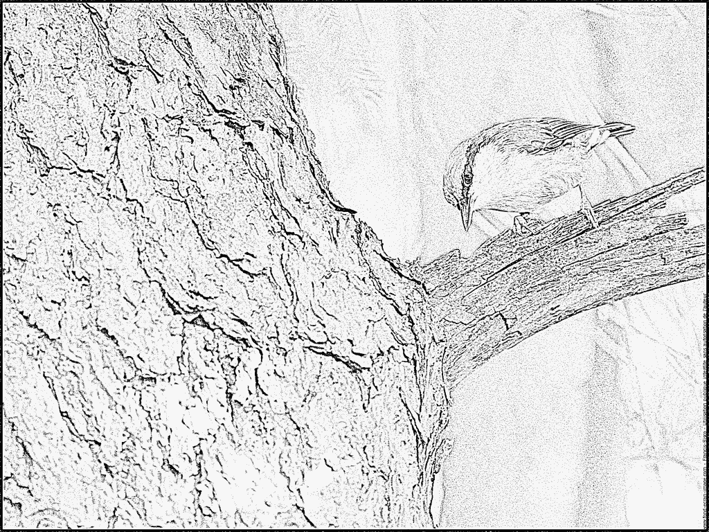 Nuthatch coloring #2, Download drawings