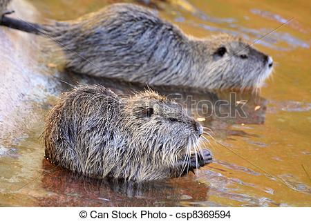 Nutria clipart #5, Download drawings