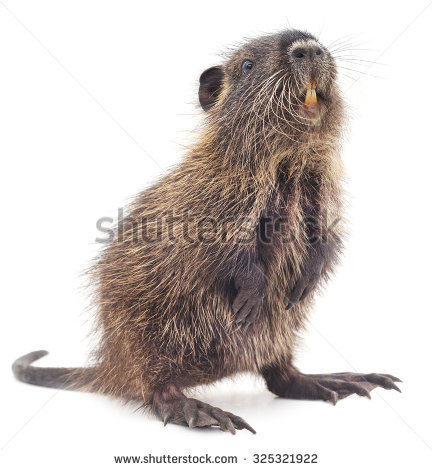 Nutria clipart #3, Download drawings