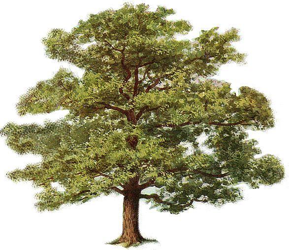 Oak Tree clipart #4, Download drawings