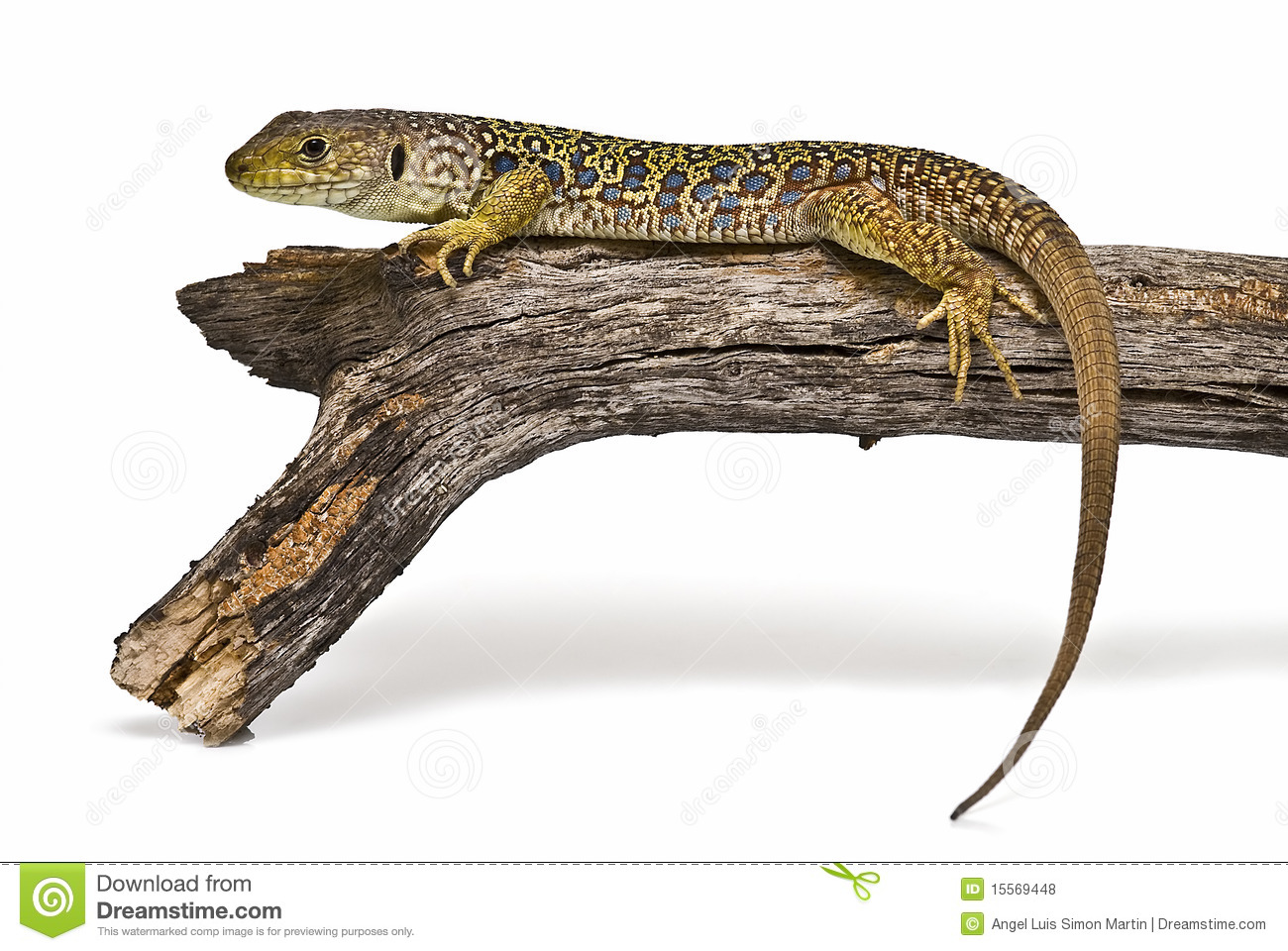 Ocellated Lizard clipart #11, Download drawings