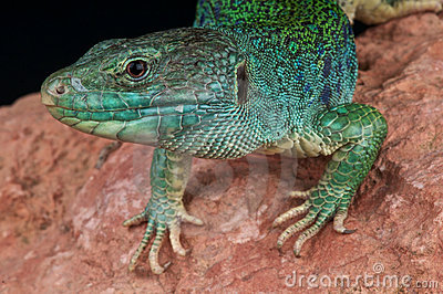 Ocellated Lizard clipart #18, Download drawings