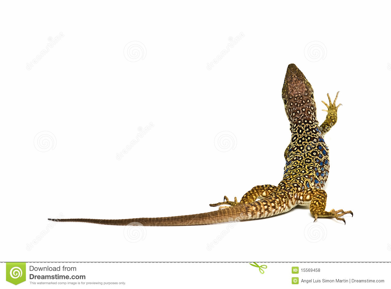 Ocellated Lizard clipart #12, Download drawings