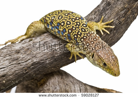 Ocellated Lizard clipart #2, Download drawings