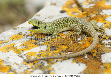 Ocellated Lizard clipart #3, Download drawings