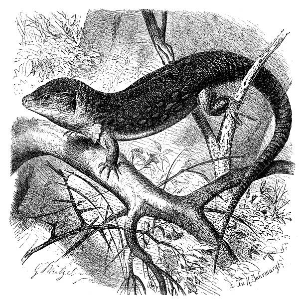 Ocellated Lizard clipart #10, Download drawings