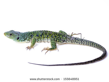 Ocellated Lizard clipart #7, Download drawings
