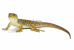 Ocellated Lizard clipart #9, Download drawings
