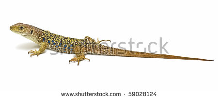 Ocellated Lizard clipart #6, Download drawings