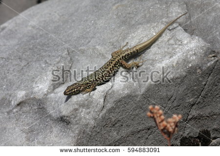 Ocellated Lizard clipart #5, Download drawings