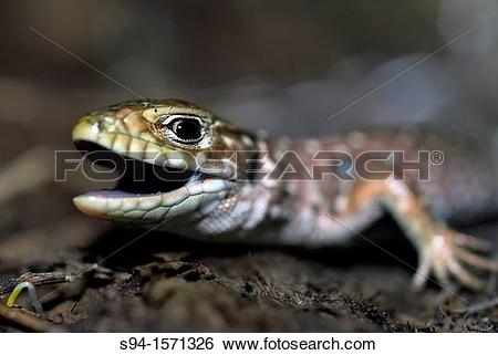 Ocellated Lizard clipart #19, Download drawings